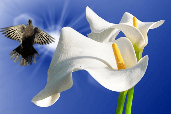 Peace lily indoor plants   GotProperty