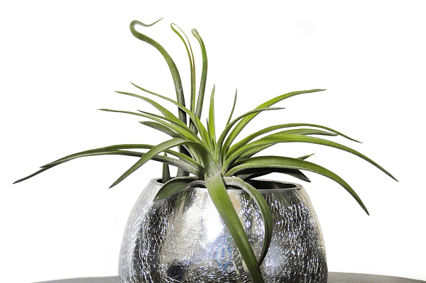 Air plant | Indoor Plants | GotProperty