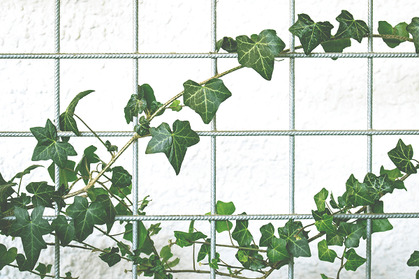 English ivy indoor plant | GotProper