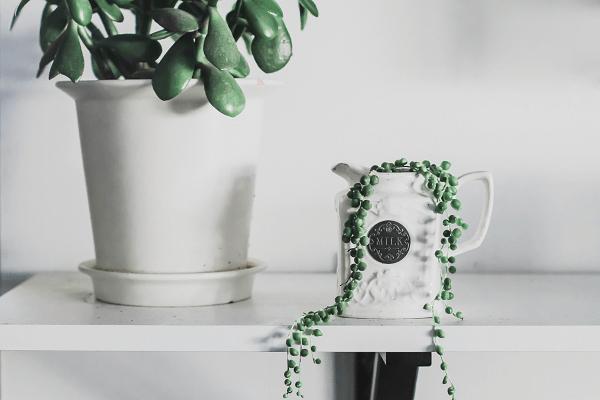 String of beads indoor plants   GotProperty