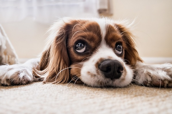 Remove pet stains from carpet | GotProperty